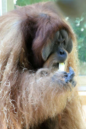 sumatran: Sumatran orangutan, Gran Canaria, Spain Stock Photo