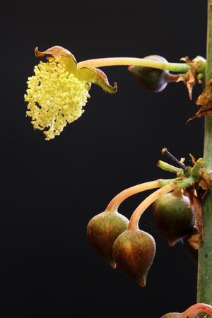 キャスター オイル植物、グラン カナリア島、スペイン