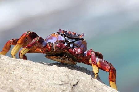 gran canaria: red rock crab, Gran Canaria, Spain
