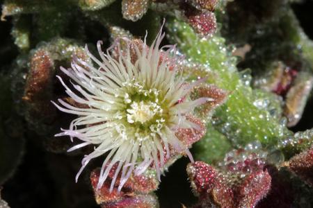 tracheophyta: Mesembryanthemum crystallinum, Gran Canaria, Spain