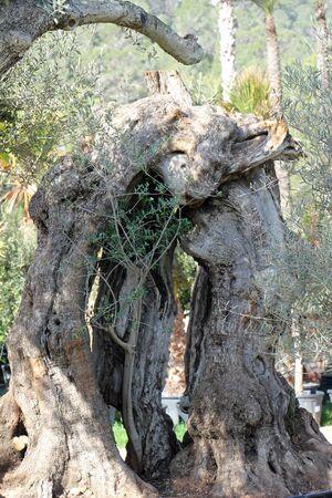lamiales: Olive, Gran Canaria, Spain Stock Photo