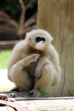 white-handed gibbon, Gran Canaria, Spain Stock Photo