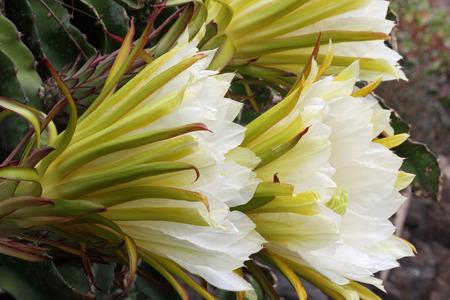 Cactus hylocereus undatus, Gran Canaria, Spain