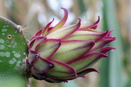 tracheophyta: Cactus hylocereus undatus, Gran Canaria, Spain