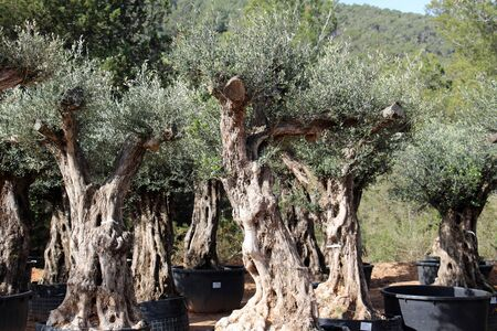 Olive, Gran Canaria, Spain Stock fotó