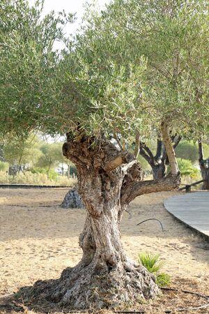 Olive, Gran Canaria, Spain Imagens