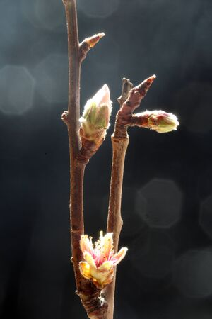 almond blossom, Gran Canaria, Spain