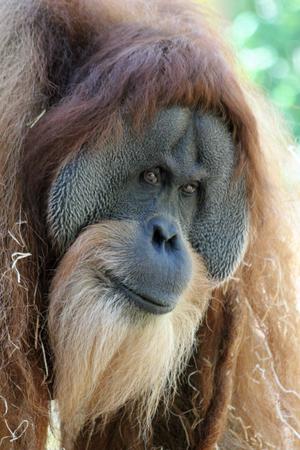 Sumatran orangutan, Gran Canaria, Spain Stock Photo