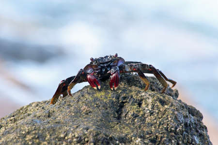 red rock crab, Gran Canaria, Spain