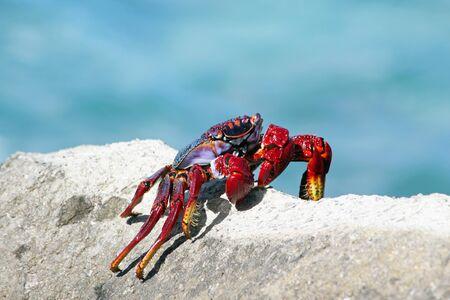 red rock crab, Gran Canaria, Spain