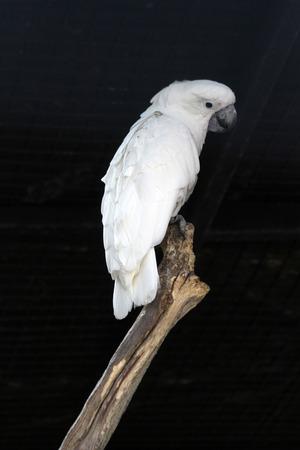 white cockatoo, Gran Canaria, Spain Stock Photo