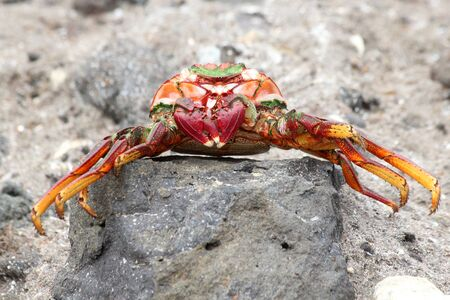dead red rock crab