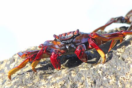 red rock crab on the rock Stock Photo