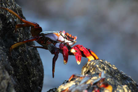 red rock crab jumps the stone