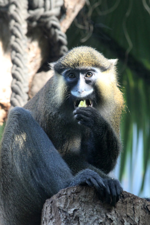moustached guenon