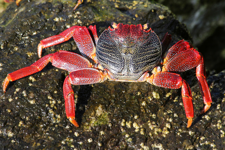 red rock crab Stock Photo - 122614927