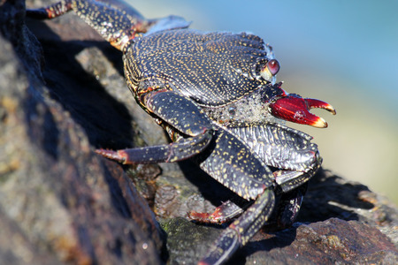red rock crab Stock Photo - 122614941