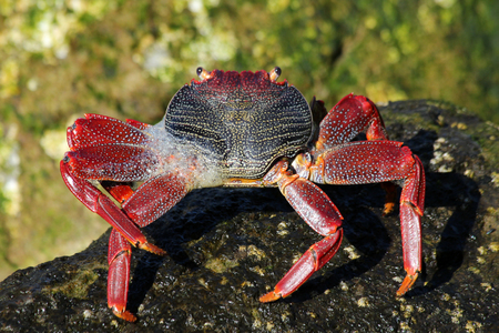 red rock crab Stock Photo - 122615032