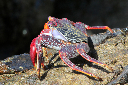 red rock crab Stock Photo - 122615825