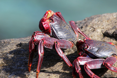 red rock crab Stock Photo - 122615826