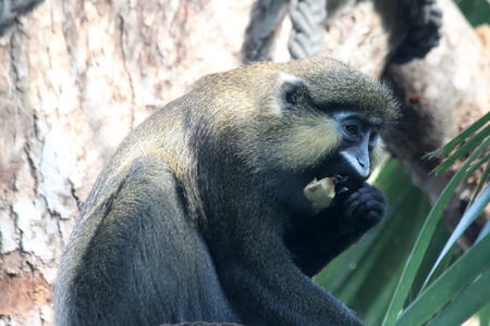 moustached guenon Stock Photo - 122615831