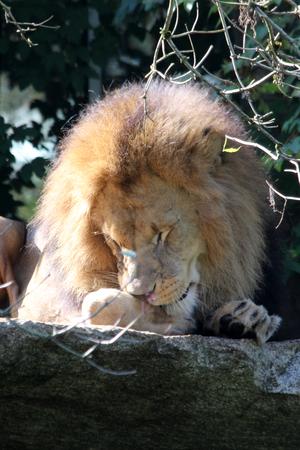 sleeping lion Stock Photo - 122615849
