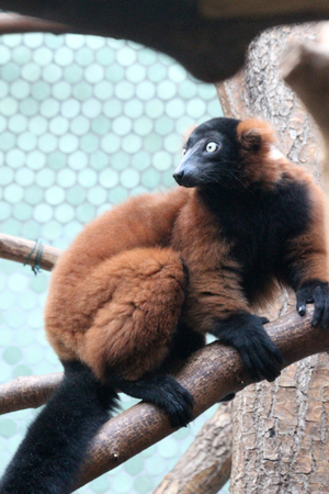red ruffed lemur Stock Photo - 122615854