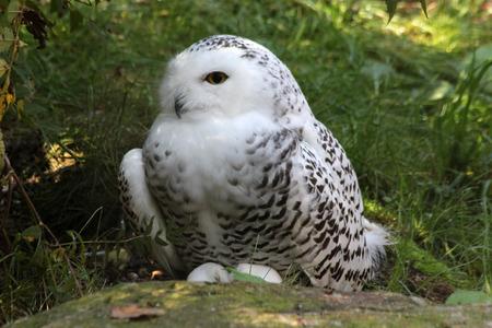 snow owl Stock Photo - 122615857