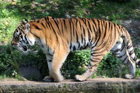 siberian tiger Stock Photo - 122615855