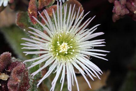 Mesembryanthemum_crystallinum Stock Photo