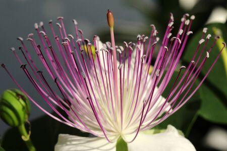 Caper bush Stock Photo