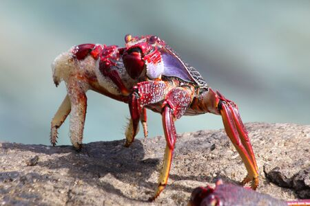 Red rock crab Stock Photo - 129672651