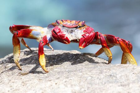 Red rock crab Stock Photo - 129672654