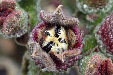 Mesembryanthemum crystallinum Stok Fotoğraf
