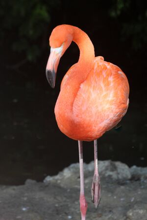 Red_flamingo