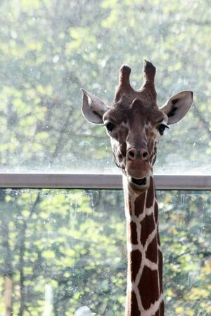 Rothschilds giraffe Imagens