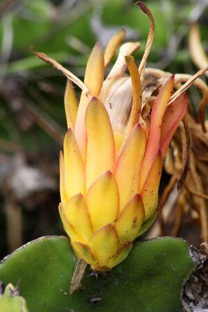 Cactus hylocereus undatus Stok Fotoğraf