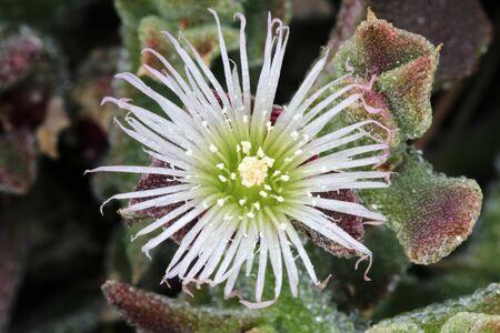 Mesembryanthemum crystallinum Imagens