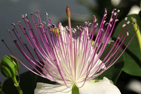 Caper bush Imagens