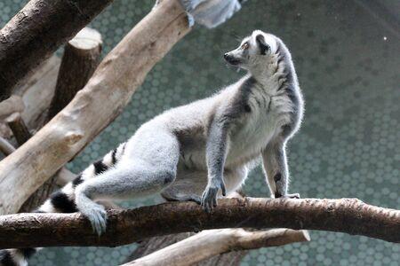 Ring-tailed lemur Imagens