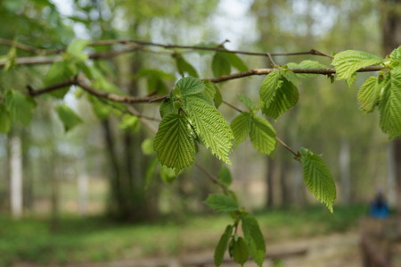 Young green leaves on a branch of a birch in early spring photo