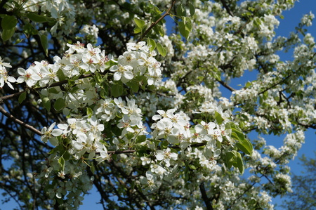 awake: Tsvettsschie branches of apple trees in spring against a blue sky Stock Photo