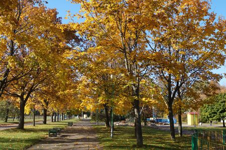 late fall: Trees with yellow leaves in late fall