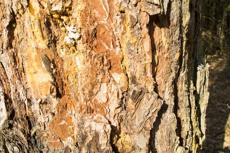 resin: The bark of a pine closeup