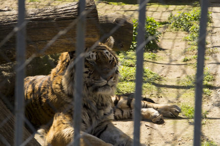 cognition: Siberian tiger lying in the shade in a cage zoo Stock Photo