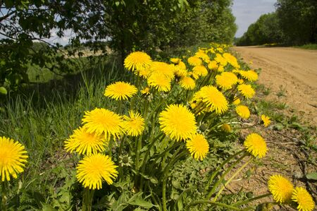 along: Yellow dandelions along the country road