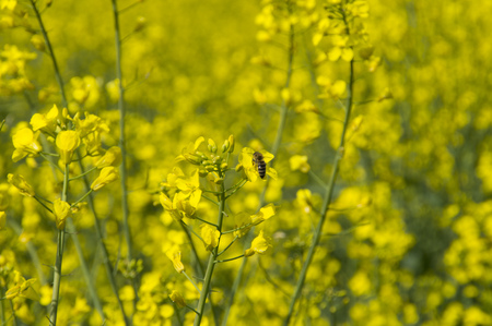 field flowers: A bee collecting nectar from flowers in the spring of rape on the field Stock Photo