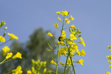 canola: Bee sits on a yellow flower blooming rapeseed
