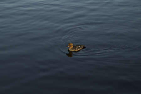 country side: Wild duck in the lake in the woods Stock Photo