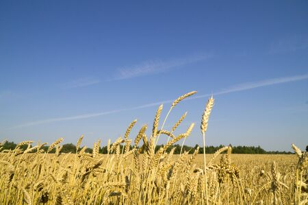 grasses: Ripe ears of wheat against the blue sky Stock Photo